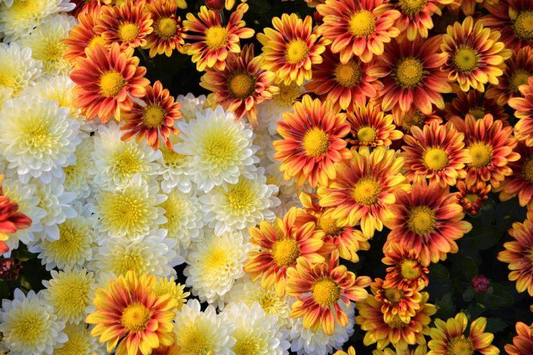Banana Sorbet & Jordi, Chrysanthemums, Gallery On What We Grow