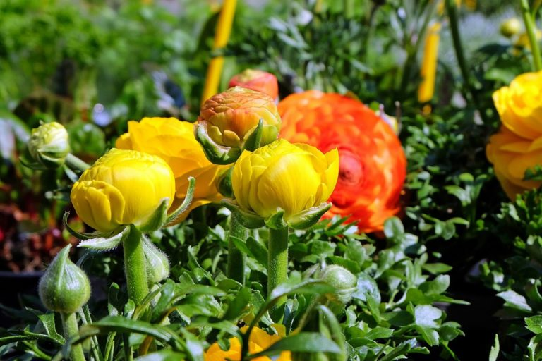 flowers, ranunculus, yellow