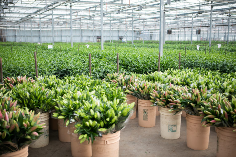 Oriental Lily, Greenhouse