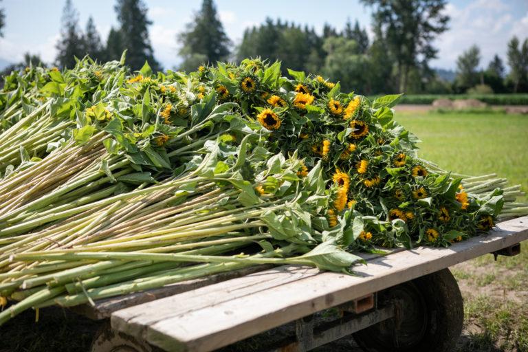 Sunflower, Sunflower Field,