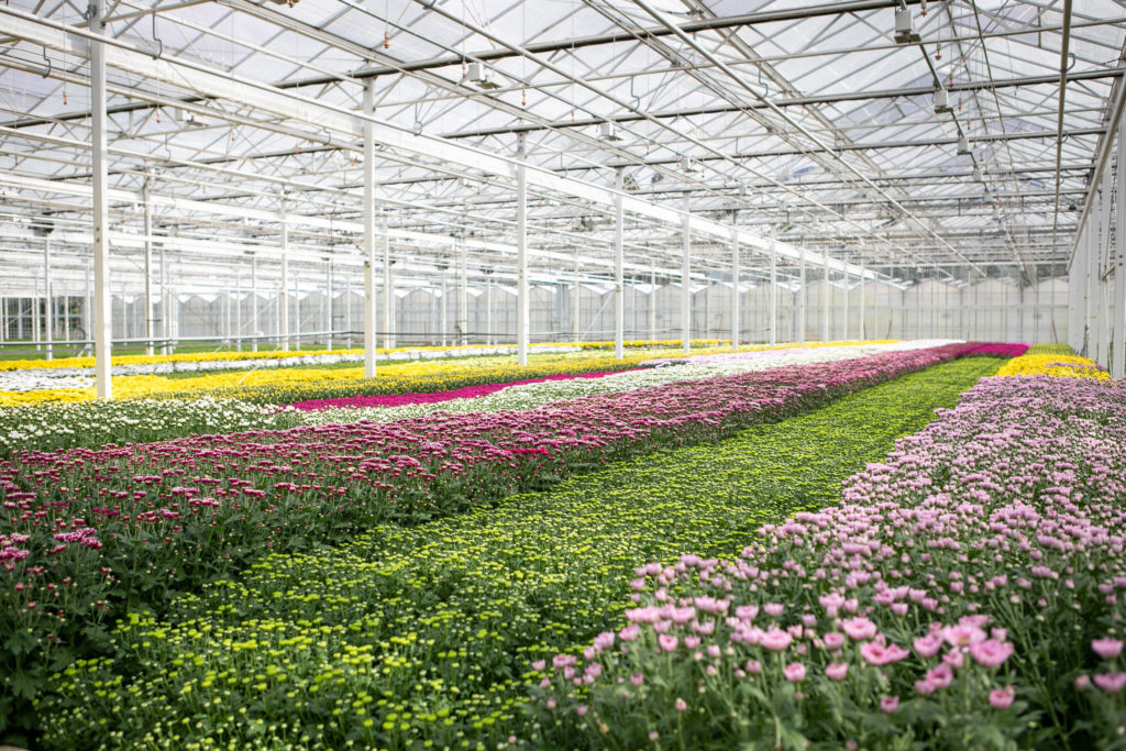 Greenhouse, Growers, Spraymums, Chrysanthemums, Assorted
